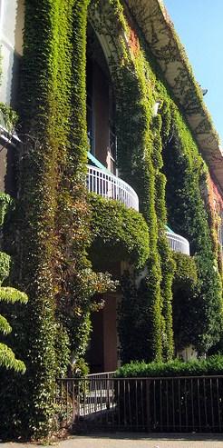 Belmont Park Ivy